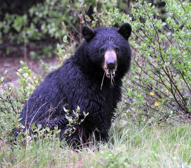Bears shot