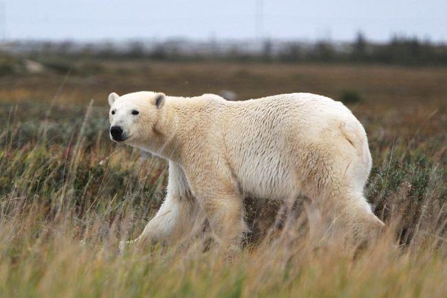 Polar bear. (QMI Agency)