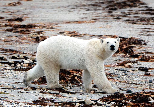 A polar bear is seen near Churchill, Manitoba. (QMI Agency)