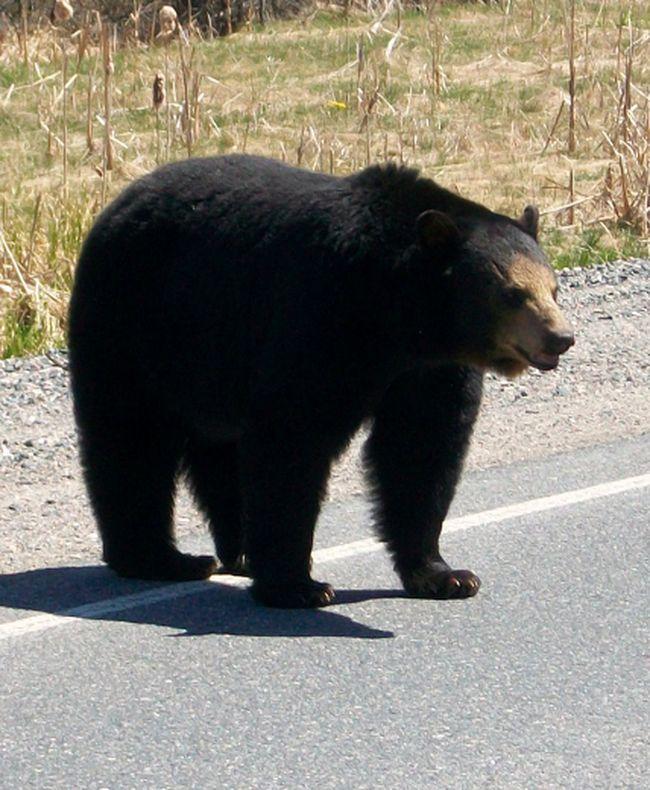 Black bear QMI AGENCY FILE