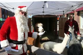 Santa Claus feeds an alpaca from Dream Acres farm while visiting Downtown Timmins.