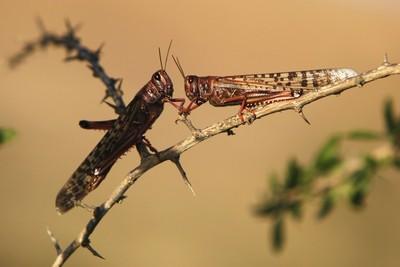 Locusts rest on a branch near Kmehin in Israel's Negev desert on March 5, 2013. (REUTERS/Amir Cohen)