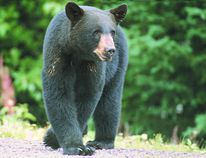 A black bear.