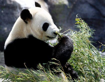 Da Mao panda Toronto 100513