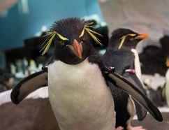A rockhopper penguin at SeaWorld Orlando's new penguin habitat. SEAWORLD ORLANDO PHOTO