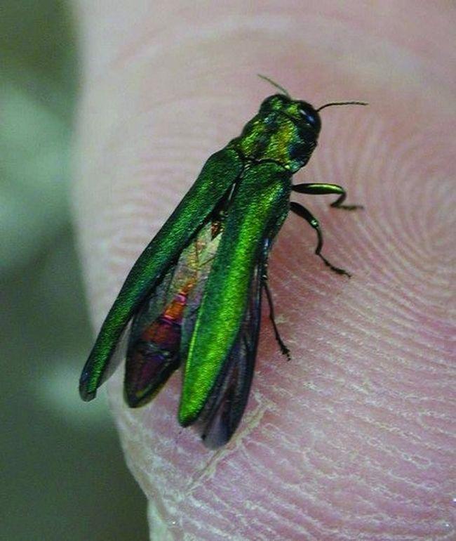 Emerald ash borer (Free Press file photo)