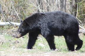 black bear, timmins times
