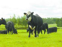 Area cattle.