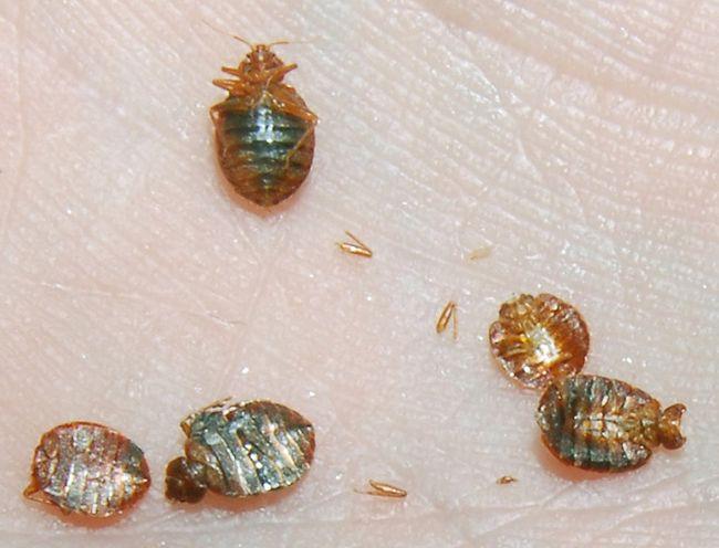 Bedbugs. (Postmedia Network)