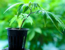 Marijuana pot plant