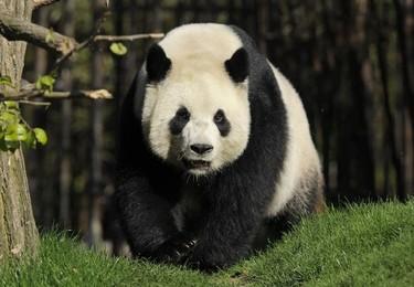 Giant panda Hao Hao walks in its pen at Pairi Daiza animal park in Brugelette on April 15, 2014.  (AFP PHOTO /JOHN THYS)
