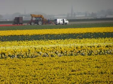 One of many flower bulb fields near Keukenhof garden in Lisse, Netherlands. ROBIN ROBINSON/TORONTO SUN