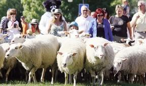 Fort Saskatchewan residents participate in their biannual Sheep walk through downtown Fort Saskatchewan.