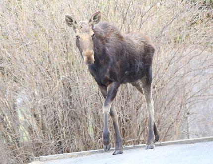 File photo of a moose wandering into a Minnow Lake neighbourhood. JOHN LAPPA/THE SUDBURY STAR