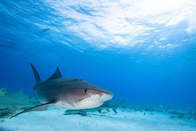 Tiger shark (Fotolia)