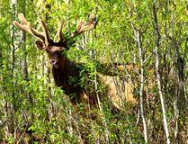 A Bull Elk is seen in the woods in Elk Island National Park east of Edmonton Alta., on Sunday June 1, 2014. Max Maudie/QMI Agency
