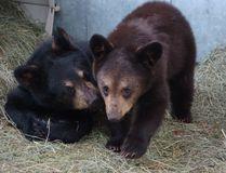 Photo of Yukon bear cubs, taken last week at the Yukon Wildlife Preserve. The bears have been moved to the Calgary Zoo. Photo by Mary Vanderkop/Calgary Sun/QMI Agency