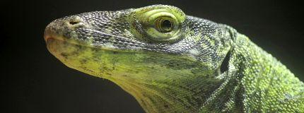 baby Komodo dragons Calgary Zoo