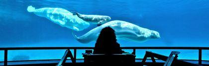 Belugas Marineland 7 ways