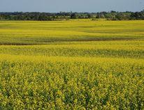 Canola spreads across rural Saskatchewan like a bright yellow welcome mat. BARBARA TAYLOR/QMI AGENCY