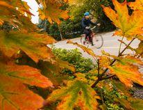 A man cycles past fall leaves along the Queen Elizabeth Driveway in Ottawa on Wednesday September 24, 2014. Errol McGihon/Ottawa Sun/QMI Agency