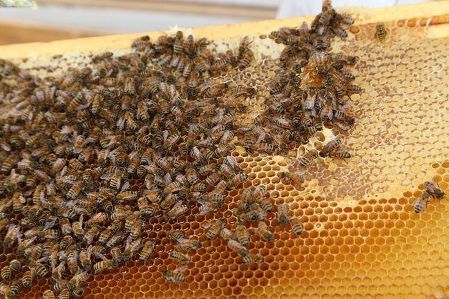 Bees in Sudbury (John Lappa/QMI Agency)