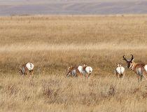 Antelope near Gem, Alberta