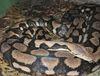 python-kentucky