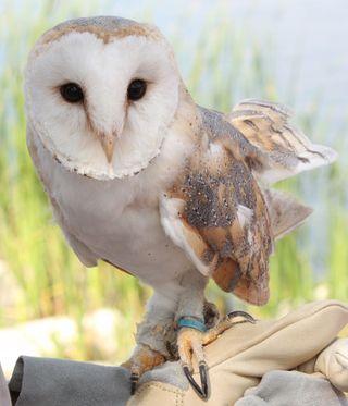 Barn Owl Halts Turbine Project Simcoe Reformer
