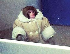 "Darwin the ""Ikea monkey"" (Toronto Sun Files)"