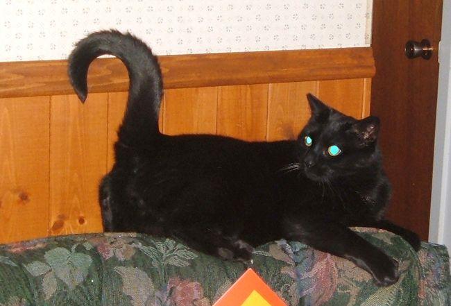 Bagheera the cat.