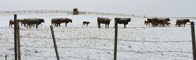 Cremona cows