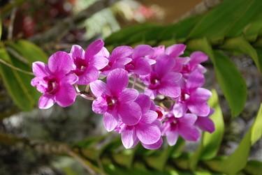 Beautiful fuschia orchids enhance the streetscapes of San Juan. Barbara Taylor/QMI Agency