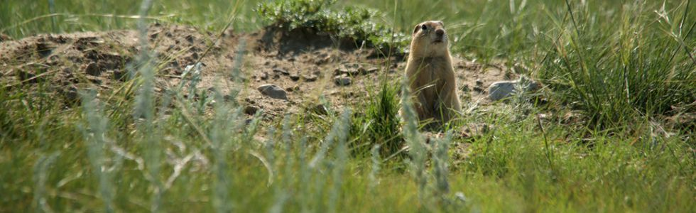A Richardson's ground squirrel.