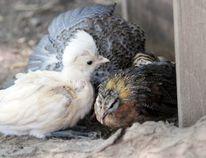 Baby chickens peck around for food. Julie Jocsak/Postmedia Network file photo