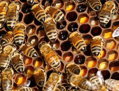 Bees. REUTERS/Jacky Naegelen/Files