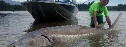 Giant B.C. sturgeon in Fraser River