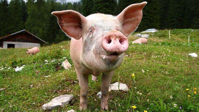 Pennsylvania man found drunk, naked in hog barn: I just