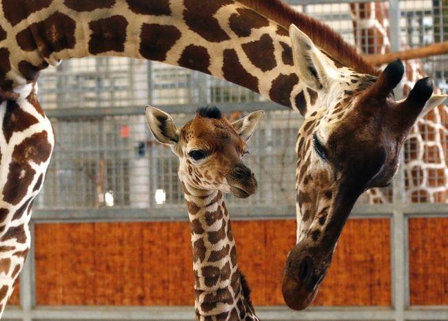 Giraffes (Cathy Burkey/AP files)