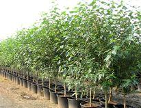 Caliper trees