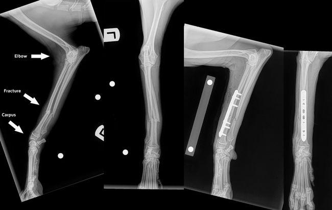 Phẫu thuật gãy xương ở thú cưng