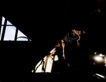 A Gorgosaurus Libratus skeleton crawls through shadows on Saturday August 29, 2015 at the Philip J. Currie Museum in Wembley, Alta. Tom Bateman/Grande Prairie Daily Herald-Tribune/Postmedia Network