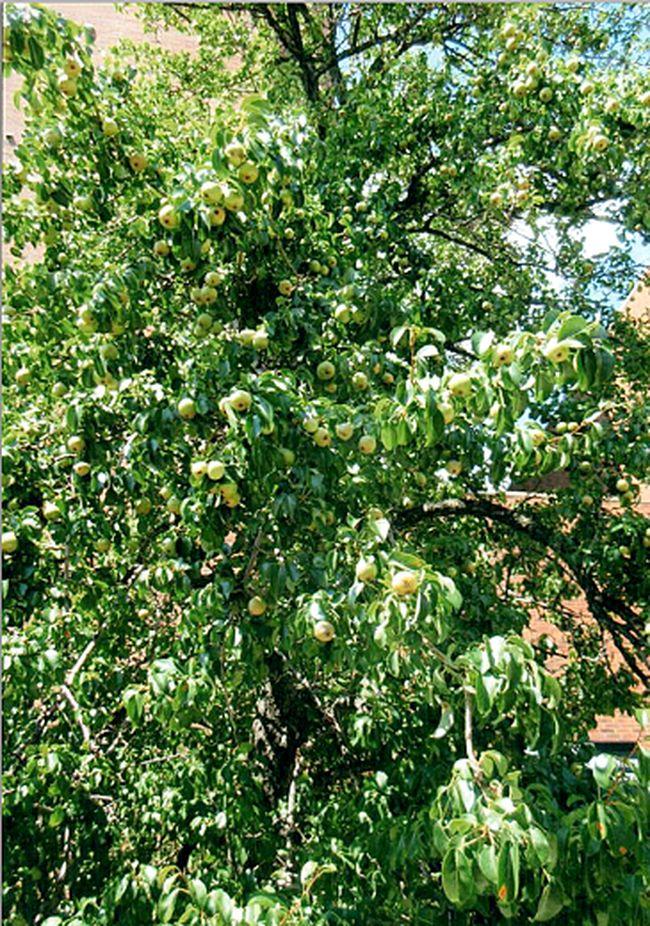 Jesuit pear trees (Handout)