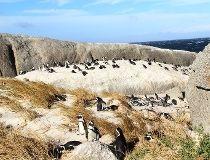 Cape of Good Hope penguins
