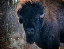 A Plains bison bull at Elk Island National Park