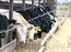 Alberta beef cattle