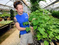 Greenhouse supervisor Dylan Howlett checks the vegetable plants at Parkway Gardens. (MORRIS LAMONT, The London Free Press)