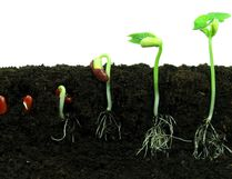 Bean seeds germinating