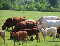 Cows graze in a field in Ontario. (Postmedia Network/File)