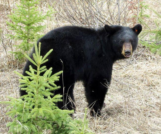 A black bear. (File photo)